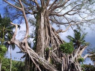 CENTURY OLD TREE - CATBALOGAN CITY